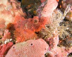 BD-080407-Bunaken-4071503-Scorpaenopsis-oxycephala-(Bleeker.-1849)-[Caledonian-devilfish].jpg